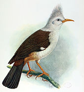 Painting of brown-and-white bird on a branch, with a shorter head tuft