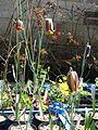 Fritillaria pyrenaica seedlings (26566952120).jpg