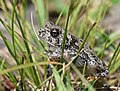 Frog-Toad (36946966524).jpg