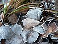 Frosty autumn leaves on ground.jpg