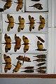 Fulgoridae Drawers - 5036101561.jpg