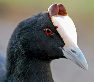 Frontal shield - Image: Fulica cristata Cape Town, South Africa head adult 8