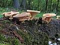 Fungi (27355966285).jpg