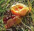 Fungi in Glen Mhairc - geograph.org.uk - 580579.jpg