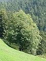 Götzis, Bergahorn Naturdenkmal 109.jpg