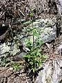 Galeopsis ladanum s. str. sl7.jpg