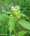 Galeopsis speciosa20090812 330.jpg