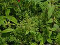 Galium ¿ species ? (7838340804).jpg