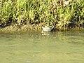 Gallinella d'acqua (Gallinula chloropus) nell'Adigetto alle porte di Rovigo 02.jpg