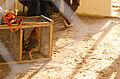 Gallo de Pelea.jpg