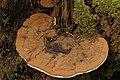 Ganoderma applanatum (36031120200).jpg