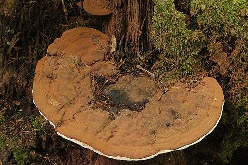 Ganoderma applanatum (36031120200)