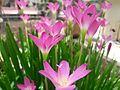 Garden lily.jpg