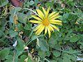 Gardenology.org-IMG 2679 ucla09.jpg
