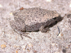 Eastern Narrowmouthed Toad, Gastrophryne carolinensis