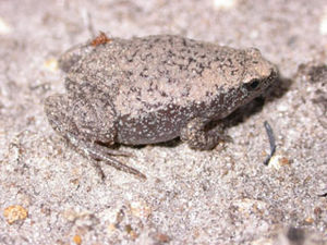 Microhylidae - Eastern narrowmouth toad (Gastrophryne carolinensis)
