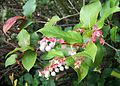 Gaultheria shallon, Nehalem, Oregon.jpg