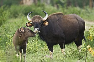 Gaur-Kuh mit Kalb(im Bandipur-Nationalpark, Indien)