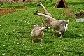 Geese at Powderham Castle (7759).jpg