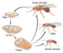 drawing of ant life cycle.