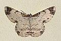 Geometrid moth (Epimecis semicompleta).jpg