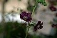 Geranium phaeum phaeum Samobor 0zz.jpg