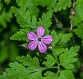 Geranium robertianum in Aveyron 01.jpg