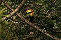 Giant Hornbill Buceros bicornis Valparai Tamil Nadu India.jpg