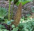 Giant Rhubarb (Gunnera sps), Geilsland Gardens, Cardross, Scotland.jpg