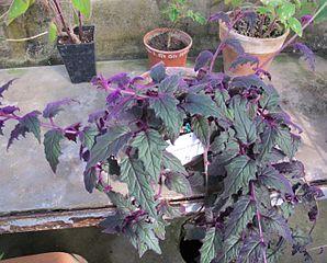 Datei giardino dei semplici gynura aurantiaca procubens for M innamorai giardino dei semplici accordi