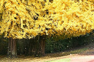 Ginkgo biloba also known as Maidenhair Tree.