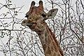 Giraffe browsing leaves.jpg