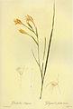 Gladiolus angustus in Les liliacees.jpg