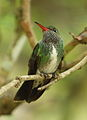 Glittering-throated emerald (Amazilia fimbriata) (16853613536).jpg