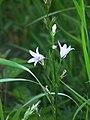 Glockenähnliche Blüten Düne Dudenhofen.JPG