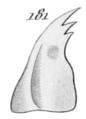 Gnorimus variabilis larva mandibel.png