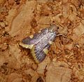 Gold Triangle. . Hypsopygia costalis. Pyralidae. - Flickr - gailhampshire (1).jpg