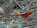 Golden Pheasant male RWD4.jpg