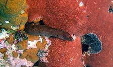 Goldentail Moray.jpg