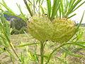 Gomphocarpus physocarpus fruit1 (14626321825).jpg