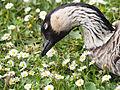 Goose among daisies (14380568355).jpg