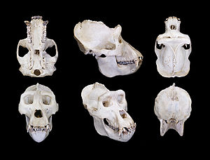 Western lowland gorilla - Skull of a male subject