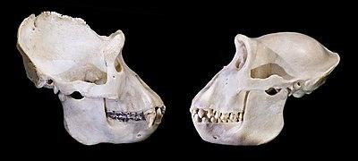 Gorilla gorilla skull.jpg