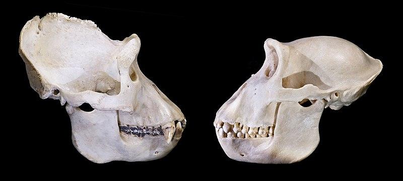 File:Gorilla gorilla skull.jpg