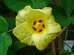 Gossypium - Flower of Gossypium herbaceum