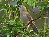 Common Grasshopper Warbler singing