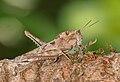 Grasshopper Argentina.jpg