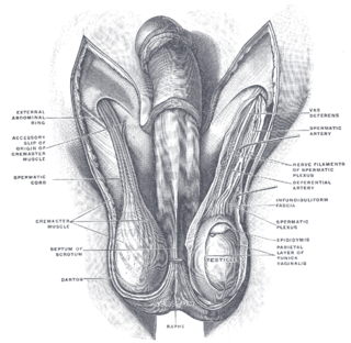 Artery to the ductus deferens