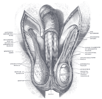 Internal spermatic fascia - Image: Gray 1144