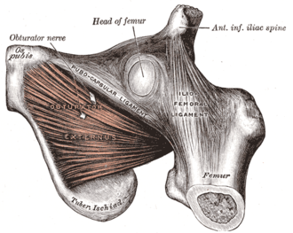 Anterior inferior iliac spine - The obturator externus muscle  (anterior inferior iliac spine visible in upper right)
